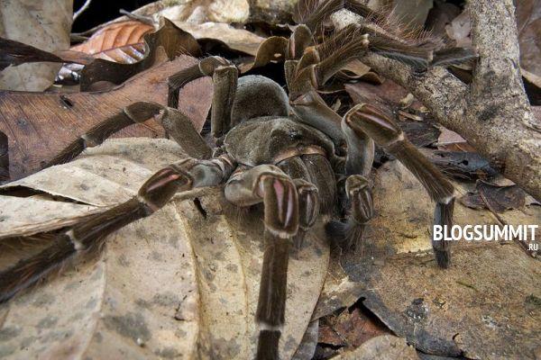 картинки самый большой паук в мире