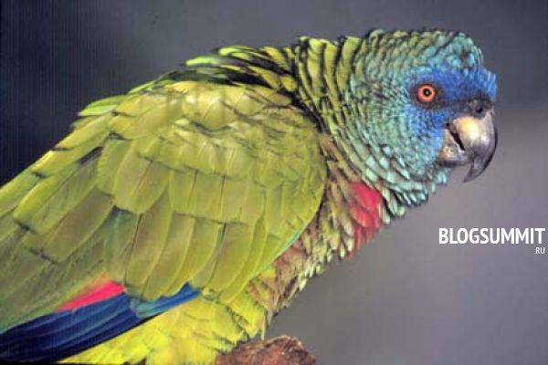Говорящие попугаи Жако
