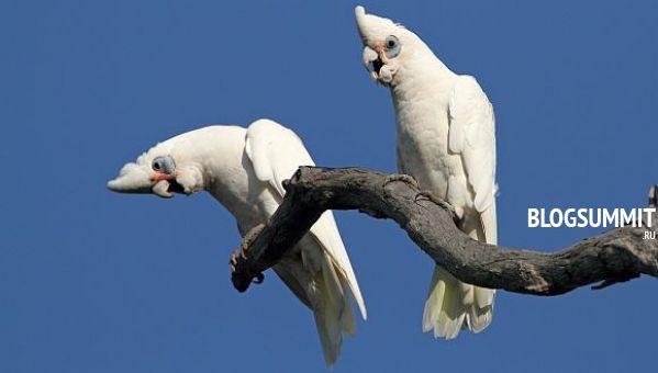 Попугай корелла - неприхотливая птичка