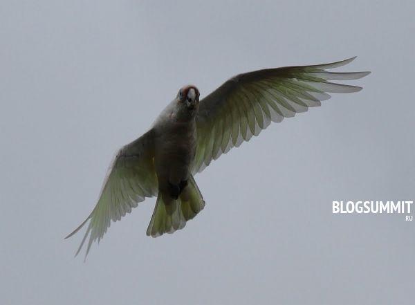 Попугай корелла - прирожденый летун