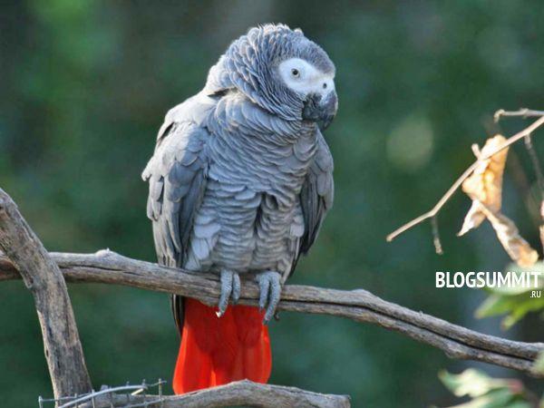 Попугай Жако или бурохвостый
