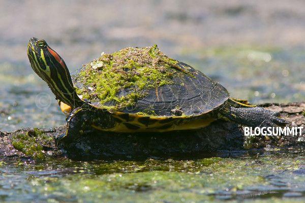 расноухие водные черепахи