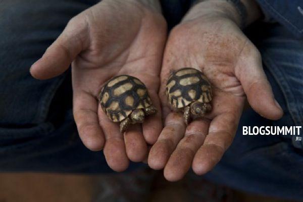 Во избежания гибели, черепах необходимо держать в террариуме