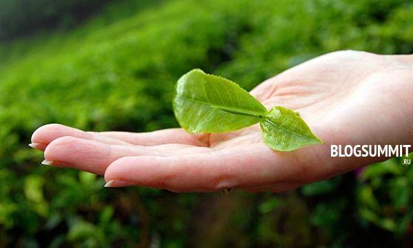 Свежесорванный листик зеленого чая