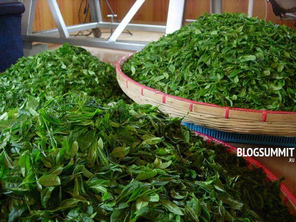 После сбора листья зеленого чая прессуют и ферментируют
