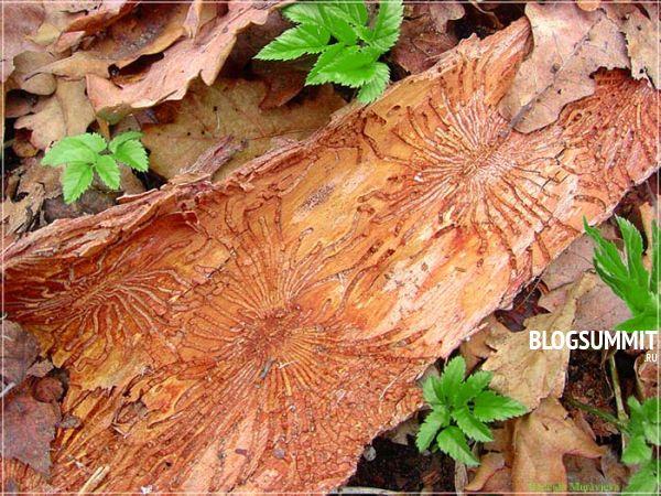 Жук дровосек - главный враг лесничих хозяйств