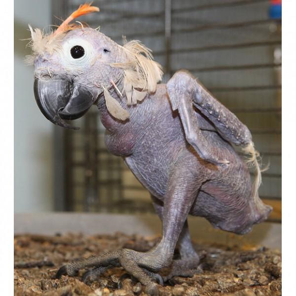 Лысый попугай - почему птицы лысеют?