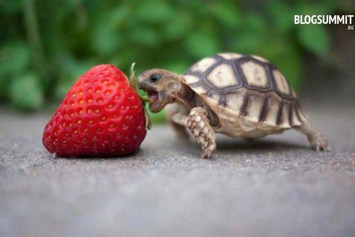 Травоядные черепашки кушают и клубнику