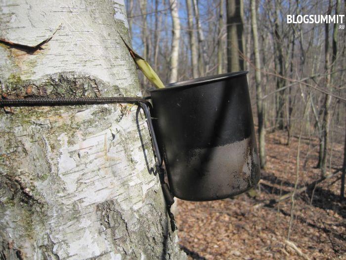 Старайтесь сохранить дерево при взятии березового сока