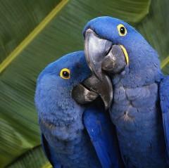 Основные виды попугаев. Говорящие попугаи
