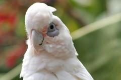 Попугай корелла - приятный птичий нрав