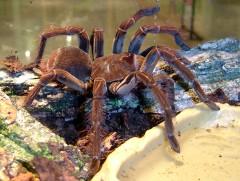 Самый большой паук в мире - птицеед Блонда